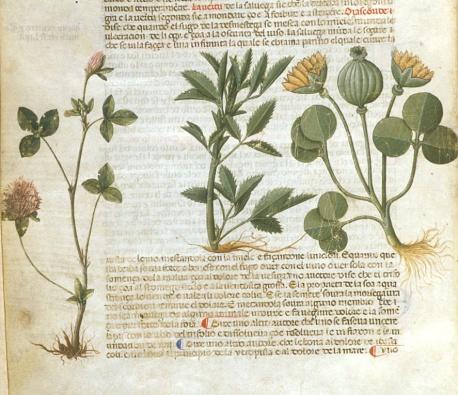 enluminure représentant des plantes